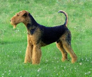 Hunderasse Airedale Terrier