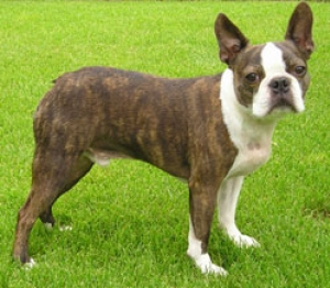 Hunderasse Boston Terrier