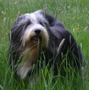 Hunderasse Bearded Collie