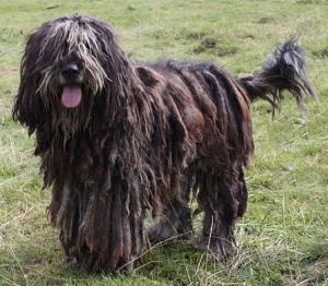Bergamasker Hirtenhund Hunderassen Hunde Ratgeber