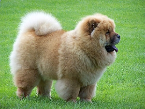 Hunderasse Chow-Chow