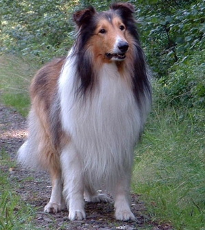 Hunderasse Collie Rough (Langhaariger Collie)
