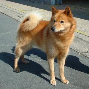 Spitze Und Hunde Vom Urtyp Hunderassen Hunde Ratgeber