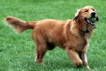 Hunderassen: Golden Retriever