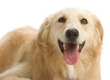 Golden Retriever, Foto © Dreamstime.com