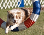 Border Collie beim Agilitysport