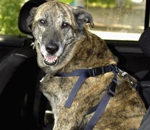 hunde ans autofahren gew hnen hunde ratgeber