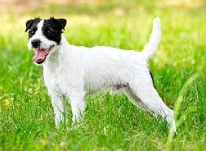 Hunderasse Parson Russell Terrier