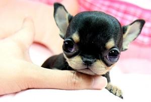 Teacup Hunde Klein Kleiner Mikroskopisch Hunde Ratgeber