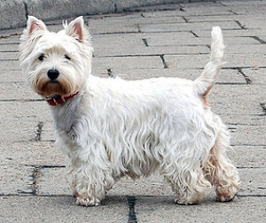Hunderasse West Highland White Terrier