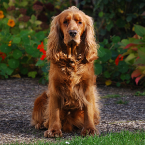 Hunderasse Cocker Spaniel (English Cocker Spaniel)
