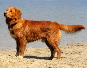 Hunderasse Nova Scotia Duck Tolling Retriever