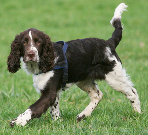 Hunderasse English Springer Spaniel