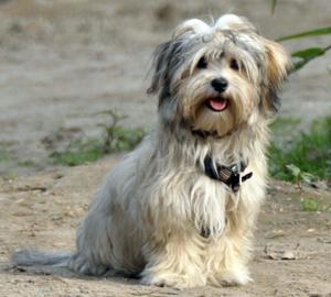 Havaneser Hunderassen Hunde Ratgeber