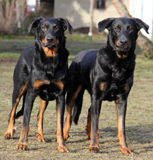 Hunderasse Beauceron, Berger de Beauce