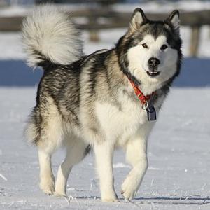 Alaskan Malamute – Hunderassen – Hunde-Ratgeber