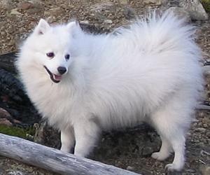 Japan Spitz Hunderassen Hunde Ratgeber