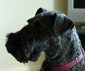 Hunderasse Kerry Blue Terrier