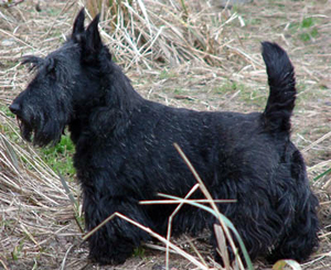 Hunderasse Scottish Terrier