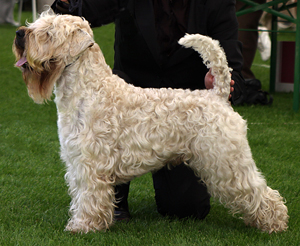 Hunderasse Irish Soft Coated Wheaten Terrier